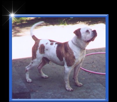 American Bulldogs - Jemm's Kennel - American Bulldog Breeder in Michigan