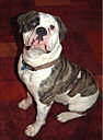 American Bulldog Breeder Michigan