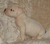American Bulldog Breeder in  Michigan